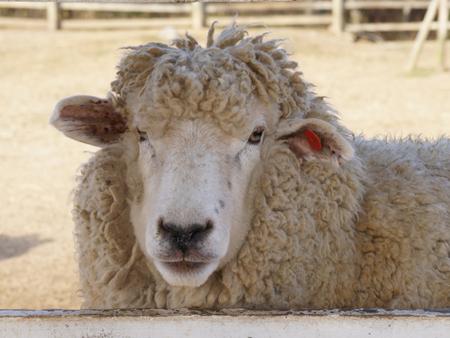 夏こそウール!!「おさらい」羊の毛『ウール』とは
